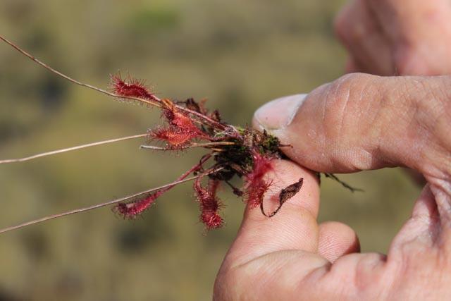 Guiden viser oss en kjøttetende plante fra myrene i Sooma nasjonalpark, Estland.