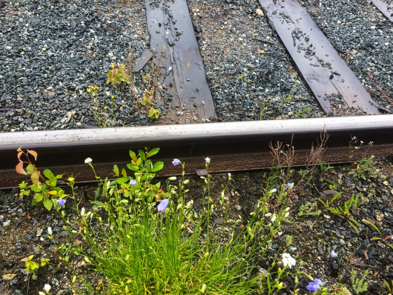 Blomster langs sporet. Inlandsbanan.